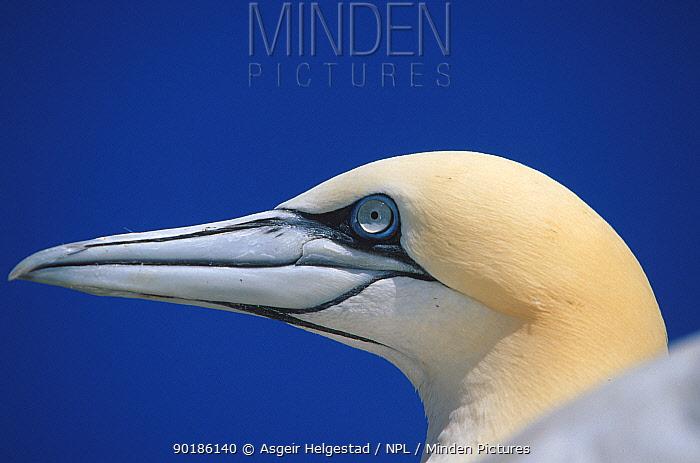 Northern gannet portrait (Sula bassana) Nordkapp, Norway  -  Asgeir Helgestad/ npl