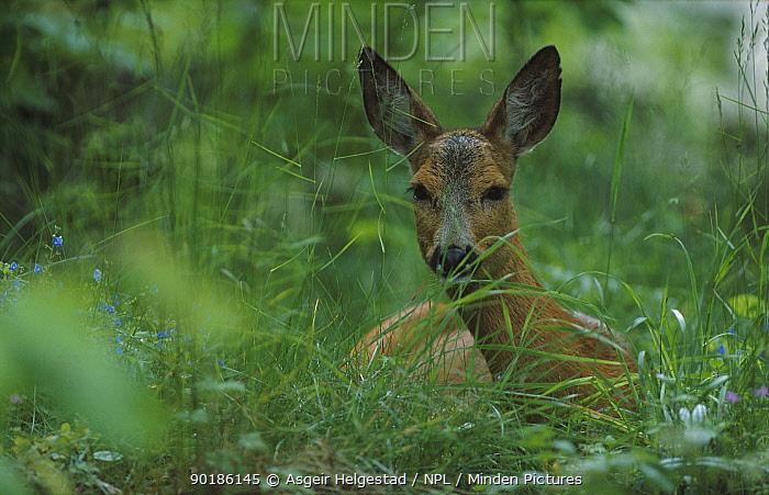 Roe deer resting (Capreolus capreolus) Norway  -  Asgeir Helgestad/ npl