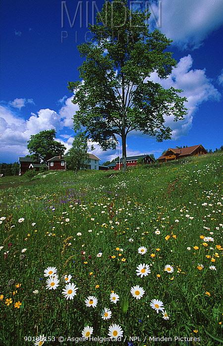 Meadow landscape with flowers, Lungdal, Flesberg, Buskerud, Norway  -  Asgeir Helgestad/ npl