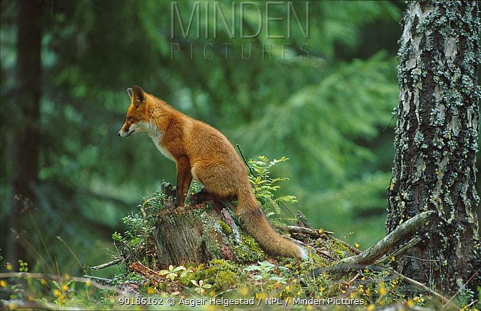 Red fox sitting on tree-stump (Vulpes vulpes) Norway  -  Asgeir Helgestad/ npl