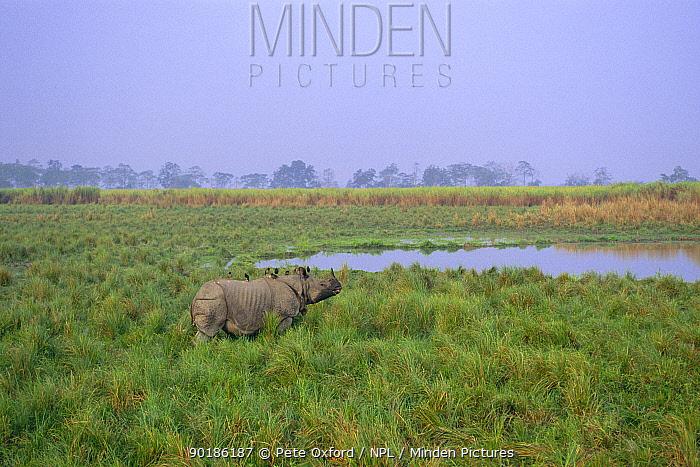 Indian rhino in grass (Rhinoceros unicornis) END Kaziranga NP, Assam India  -  Pete Oxford/ npl