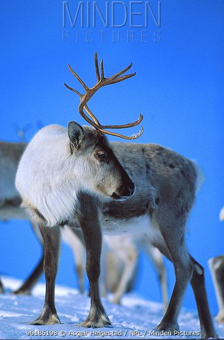 Reindeer in snow (Rangifer tarandus) Buskerud, Norway  -  Asgeir Helgestad/ npl