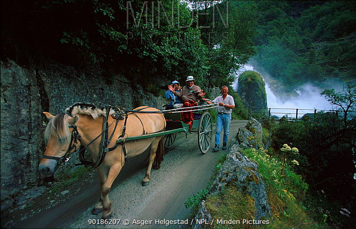 Tourists travel in horse drawn carriage to Briksdal glacier, Olden, Jostedalsbreen NP, Sogn og Fjordane, Norway  -  Asgeir Helgestad/ npl