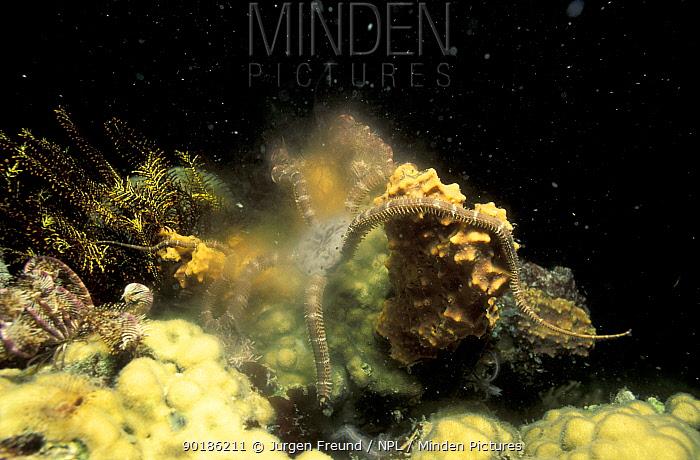Bristle star spawning at night (Astroba nuda) Philippines  -  Jurgen Freund/ npl
