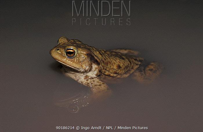 Common european toad in water (Bufo bufo) Europe  -  Ingo Arndt/ npl