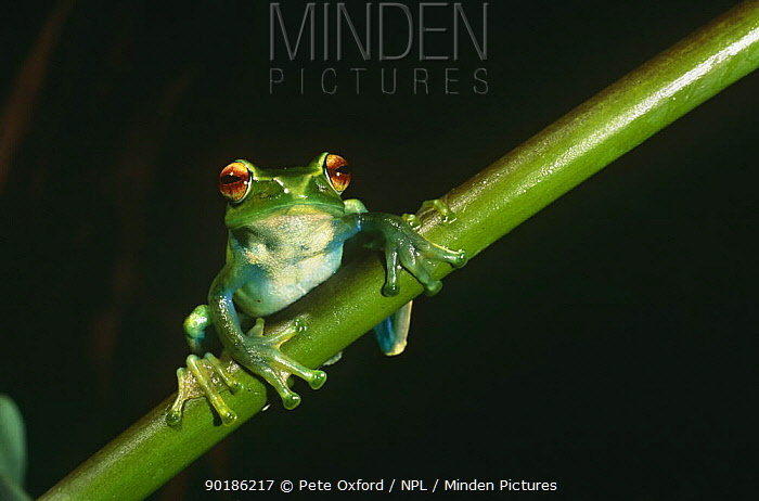 Tree frog (Boophis luteus) Marojejy WR, Madagascar  -  Pete Oxford/ npl