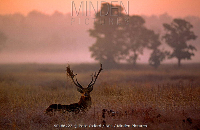 Barasingha, swamp deer (Cervus duvauceli) male in rut with grass on antler, Kanha NP, India  -  Pete Oxford/ npl