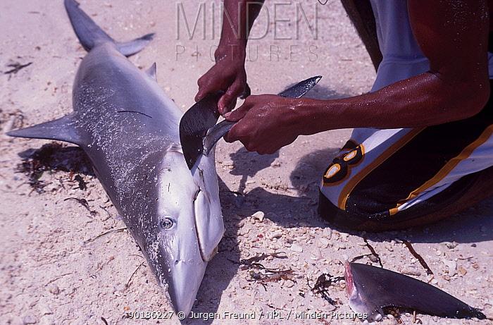 Fisherman removes fin of Grey reef shark (Carcharhinus ambly- rhynchos) Philippines  -  Jurgen Freund/ npl