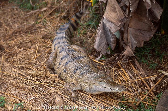Philippine crocodile (Crocodylus mindorensis) Philippines  -  Jurgen Freund/ npl