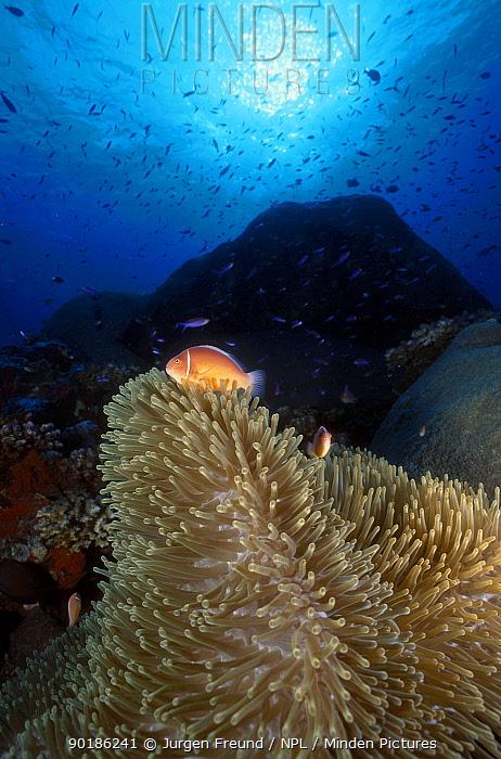 Pink anemonefish in anemone (Amphiprion perideraion) Indo-pacific  -  Jurgen Freund/ npl