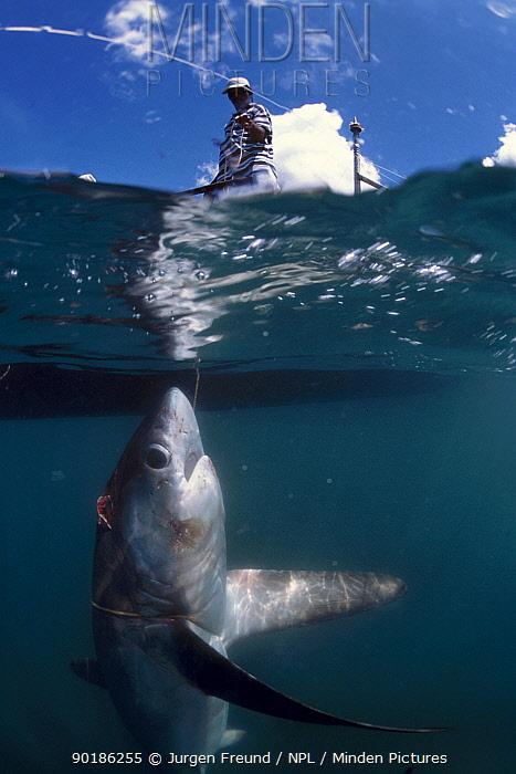 Fisherman bringing Thresher shark to surface (Alopias vulpinus) Philippines  -  Jurgen Freund/ npl