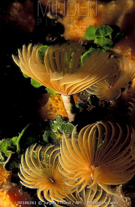 Fan worms (non calcareous) (Sabellidae family) Caribbean Se  -  Jurgen Freund/ npl
