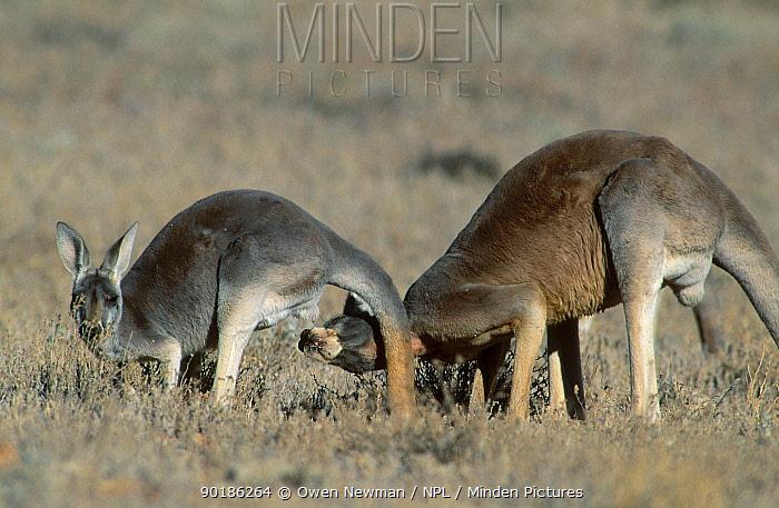 Male Red kangaroo testing to see if female is in oestrus (Macropus rufus) Sturt NP NSW  -  Owen Newman/ npl