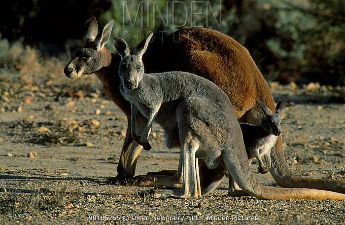 Red kangaroo family group (Macropus rufus) Sturt NP New South Wales Australia  -  Owen Newman/ npl