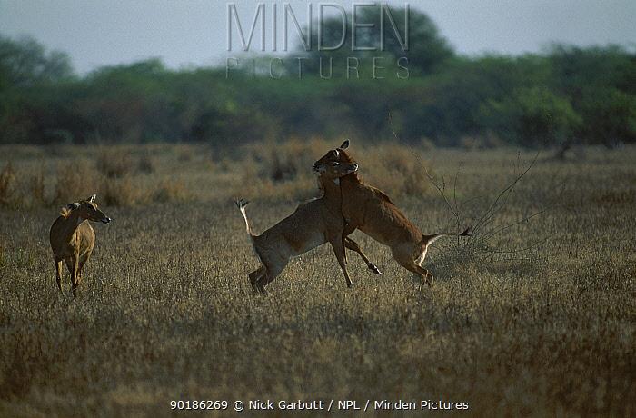 Female Nilgai sparring (Boselaphus tragocamelus) Keoladeo Ghana NP Rajasthan Indi  -  Nick Garbutt/ npl