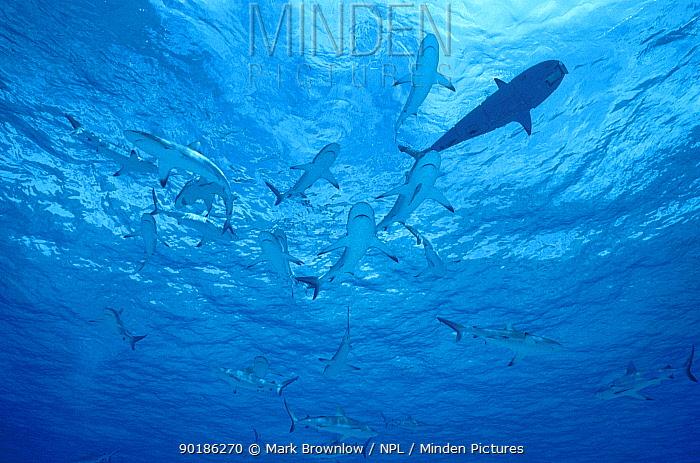 Roboshark amongst Grey reef sharks (Carcharhinus amblyrhynchus) Bikini Atoll  -  Mark Brownlow/ npl