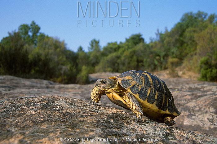 Hermanns tortoise (Testudo hermanni) France  -  Ingo Arndt/ npl