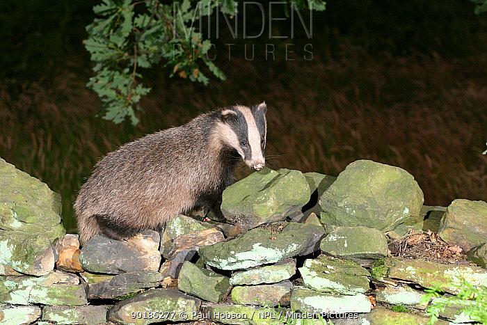 Badger on stone wall (Meles meles) Yorkshire, England  -  Paul Hobson/ npl