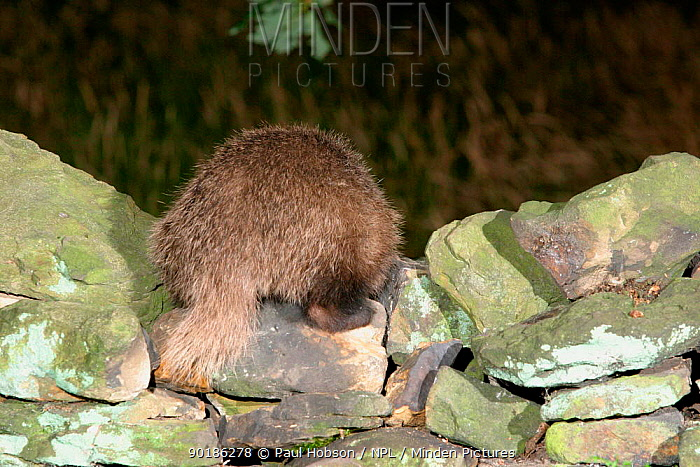 Rear view of Badger on stone wall (Meles meles) Yorkshire, England  -  Paul Hobson/ npl
