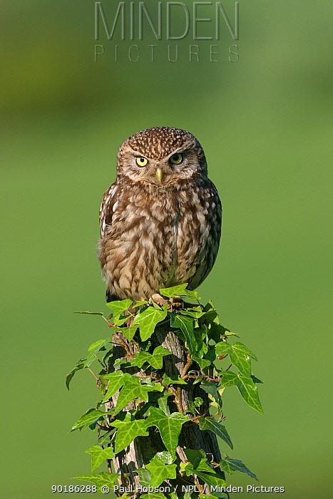 Little owl (Athene noctua) Derbyshire, England  -  Paul Hobson/ npl