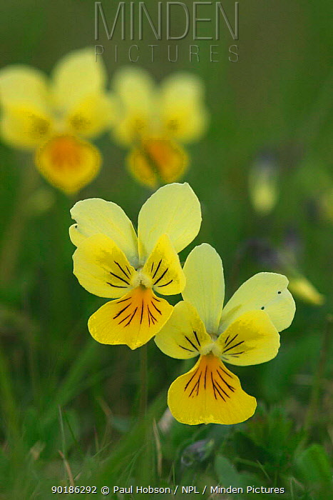Mountain pansy, yellow flower (Viola lutea) Peak District NP, England  -  Paul Hobson/ npl