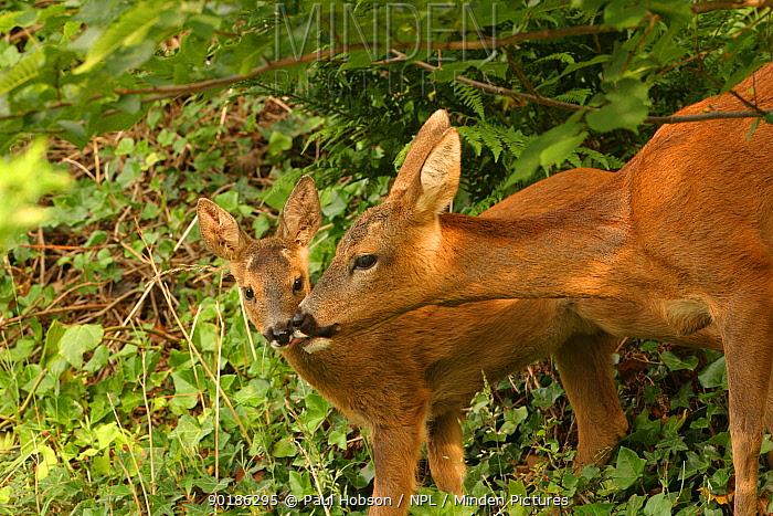 Roe deer female licking fawn (Capreolus capreolus) Scotland  -  Paul Hobson/ npl