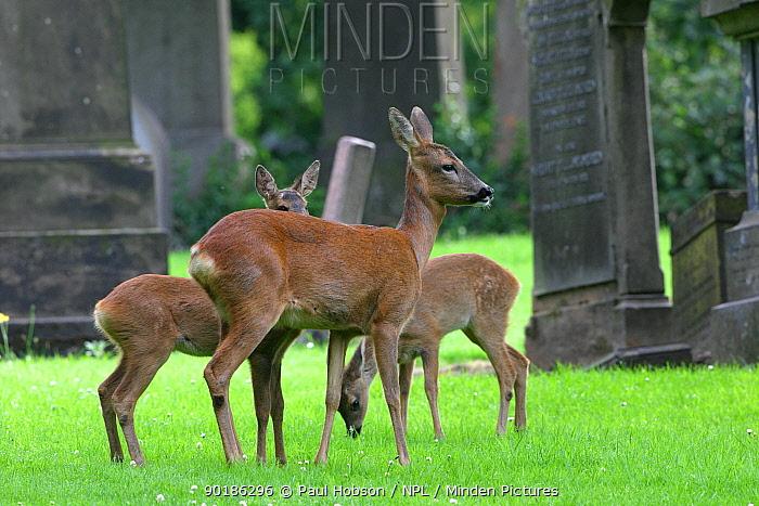 Roe deer group in graveyard (Capreolus capreolus) Scotland  -  Paul Hobson/ npl