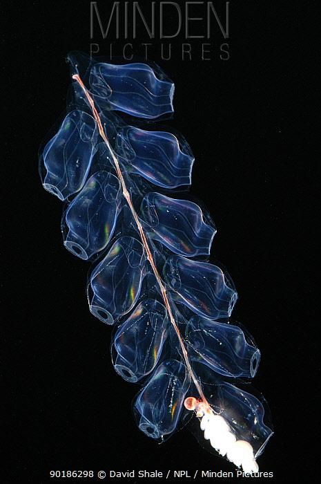 Deep sea Siphonophore, hydrozoan cnidarian (Bargmannia sp) 2503 ft, Gulf of Maine  -  David Shale/ npl
