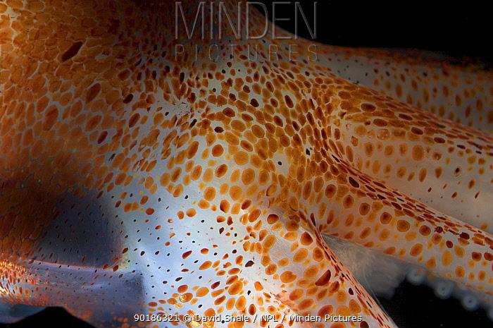 Close up of skin of deep sea Squid, Gulf of Maine, Atlantic  -  David Shale/ npl