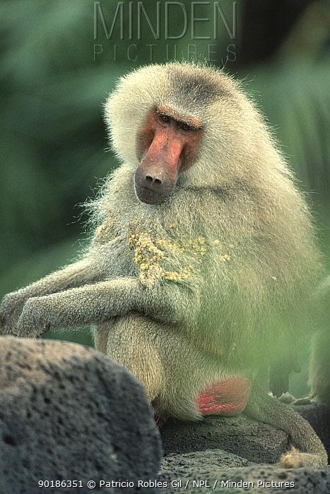 Hamadryas baboon with burrs in coat (Papio hamadryas) Awash NP, Ethiopia  -  Patricio Robles Gil/ npl