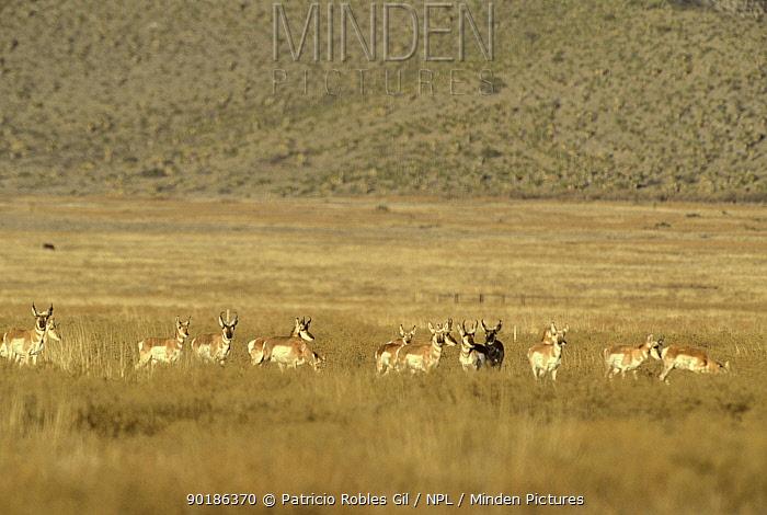Herd of Pronghorn antelope, introduced species, (Antilocapra americana) Coahuila, Mexico  -  Patricio Robles Gil/ npl