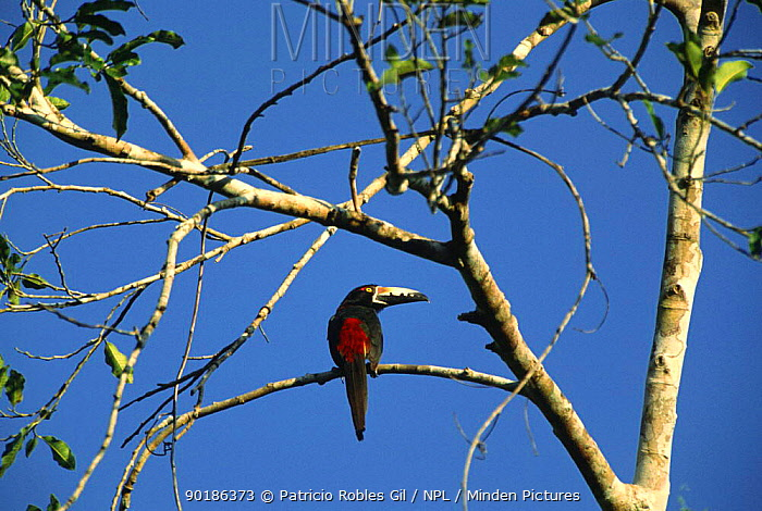 Collared aracari (Pteroglossus torquatus) Yucatan, Mexico  -  Patricio Robles Gil/ npl