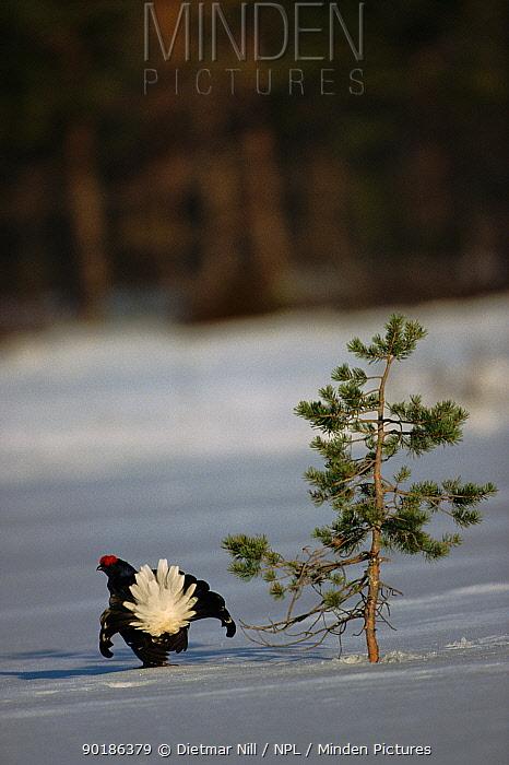 Black grouse (Tetrao tetrix) male displaying Sweden, Scandinavia, Europe  -  Dietmar Nill/ npl