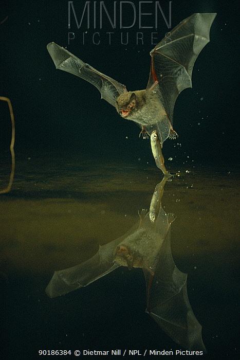 Daubenton's bat catching fish (Myotis daubentoni) Germany  -  Dietmar Nill/ npl