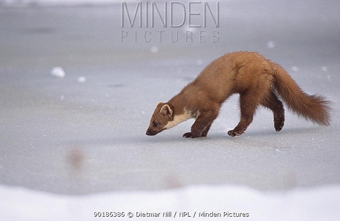 Pine marten walking on ice (Martes martes) Germany  -  Dietmar Nill/ npl