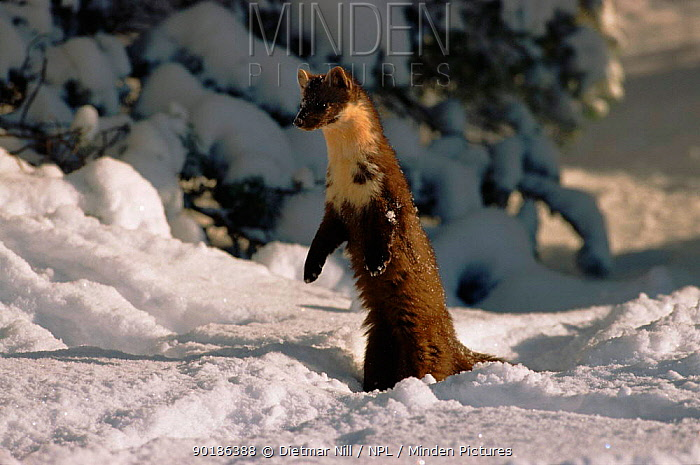 Pine marten (Martes martes) in snow Germany, Europe  -  Dietmar Nill/ npl