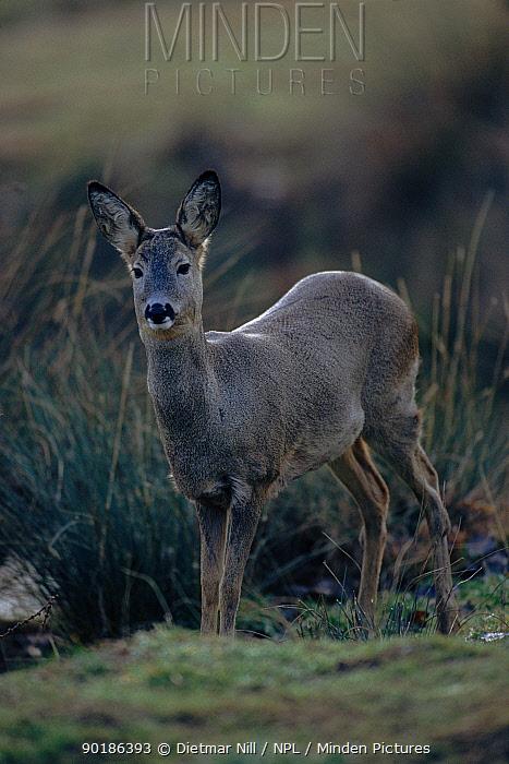 Roe deer (Capreolus capreolus) female Germany, Europe  -  Dietmar Nill/ npl