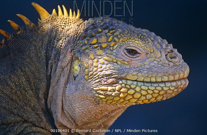 Land iguana (Conolophus subcristatus) Plaza Island, Galapagos  -  Bernard Castelein/ npl