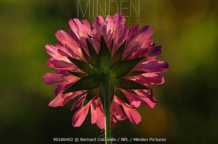 Flower (Knautia arvensis) backlit France, Europe  -  Bernard Castelein/ npl