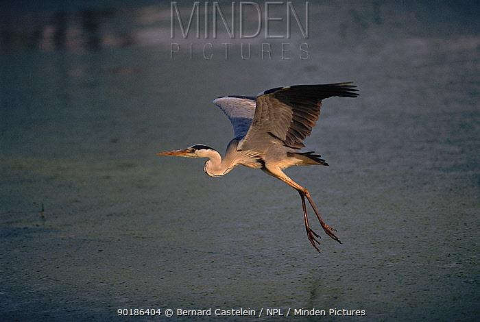 Grey heron (Ardea cinerea) in flight Brasschaat, Belgium, Europe  -  Bernard Castelein/ npl