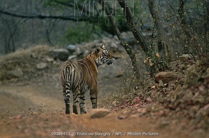Female Tiger (Panthera tigris) walking along road, Ranthambore NP, Rajasthan, India  -  Francois Savigny/ npl