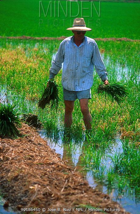 Rice cultivation (Oryza sativa) Valencia, Spain  -  Jose B. Ruiz/ npl