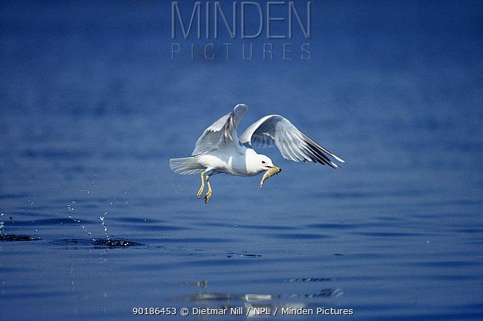Herring gull (Larus argentatus) with fish in beak, Germany  -  Dietmar Nill/ npl