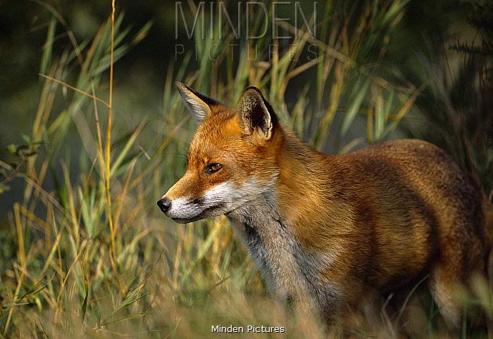 Red fox protrait (Vulpes vulpes) UK  -  Andrew Harrington/ npl