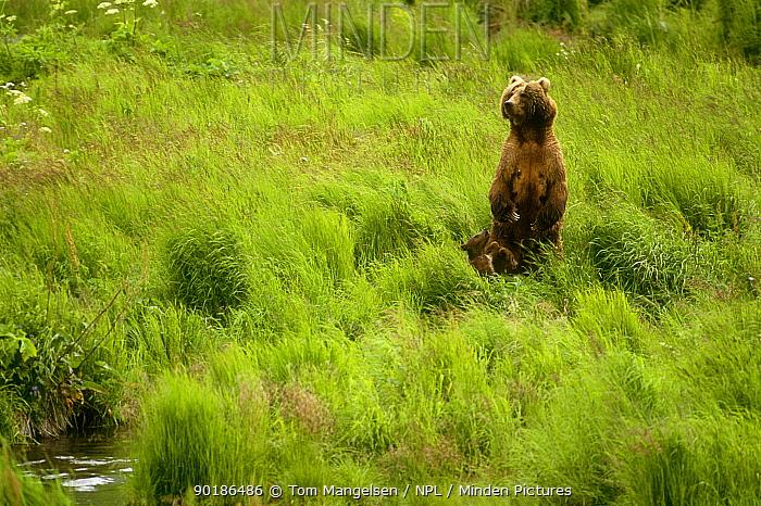 Grizzly mother and young (Ursus arctos) Alaska  -  Tom Mangelsen/ npl