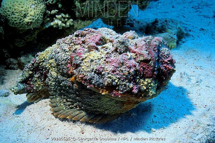 Stonefish buried on sea floor (Synanceja verrucosa) Red Sea Eygpt  -  Georgette Douwma/ npl