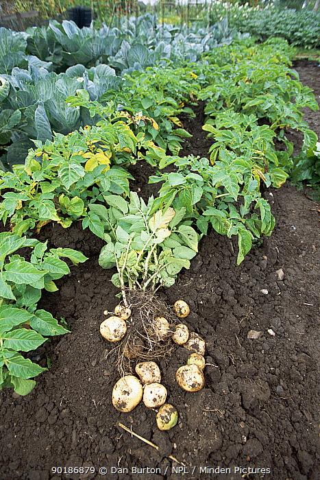 New potatoes, Morris bard variety, harvested in allotment garden (Solanum tuberosum) Devon, UK,  -  Dan Burton/ npl