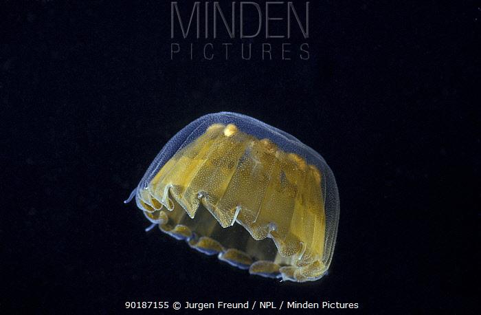 Minden Pictures stock photos - Sea thimble jellyfish ...