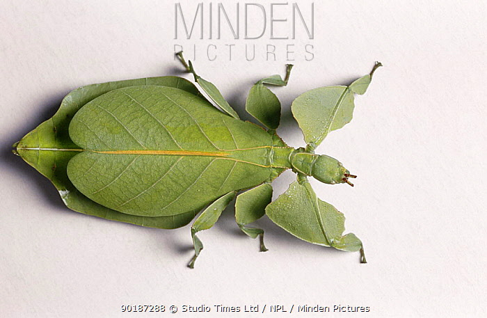 Giant Katydid  Stilpnochlora couloniana  Keeping Insects