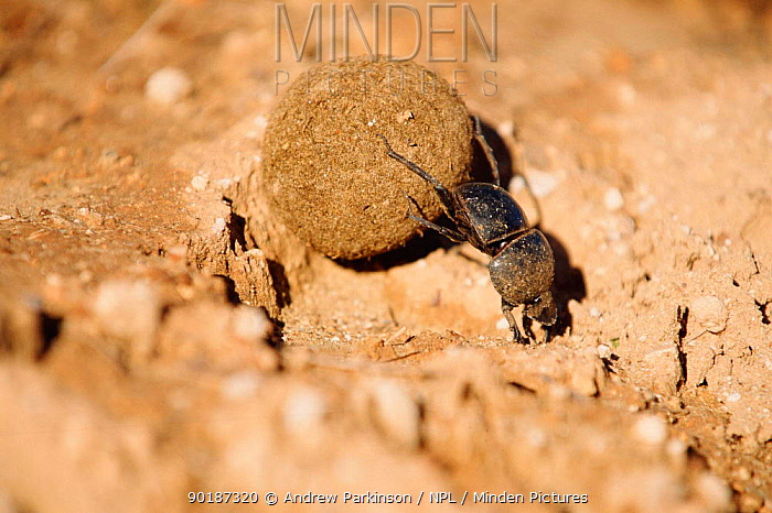 Flightless dung beetle (Circellium bacchus) female rolling buffalo dung ball to lay egg in, South Africa Addo elephant park endangered  -  Andrew Parkinson/ npl